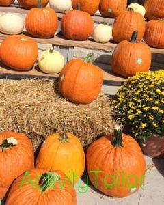 Halloween attributes pumpkins real copy